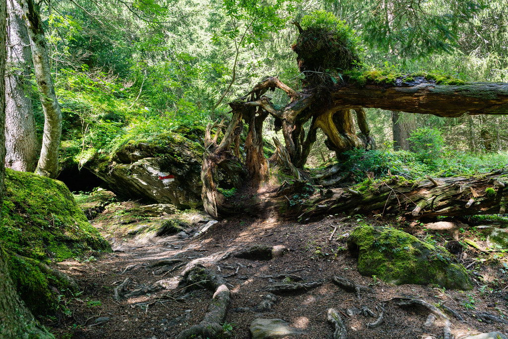 Fallen tree with big roots and branches on the hiking trail in Swiss mountains