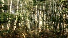 Forêt de bouleaux sous la lueur automnale. DSC_0584-Modifier