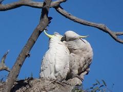 Cockatoo Love