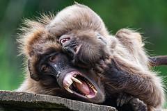 Monkey baby Variation 4