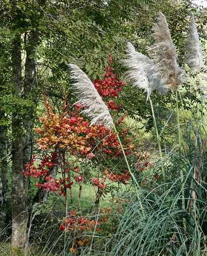 L'automne au jardin, lagerstroemia et herbes de la pampa, Bosdarros, Béarn, Pyrénées Atlantiques, Nouvelle-Aquitaine, France.