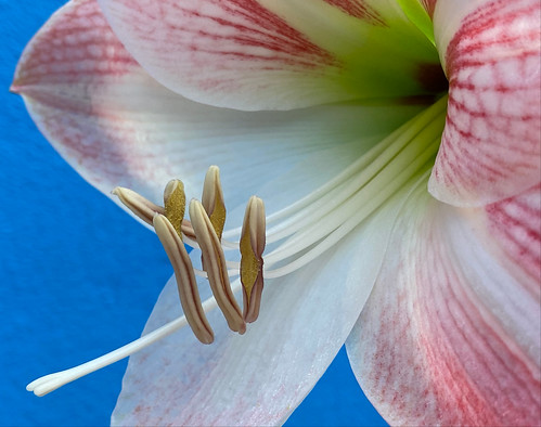 Hippeastrum 'Apple Blossom' at home.