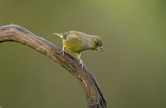 Greenfinch.