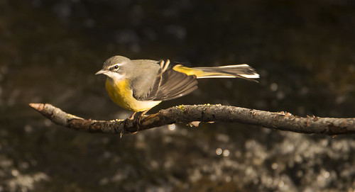 Grey Wagtail, Dodder River, Ireland today