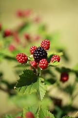 Les fruits du roncier I