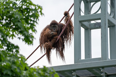 Orangutan climbs on the O-line rope course at Smithsonian National Zoological Park in Washington DC