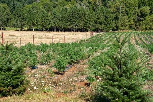 Hemp marijuana industrial cannibis farm in rural Oregon
