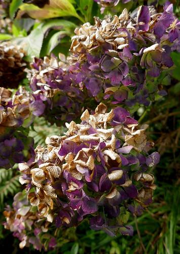 Au jardin, hortensias macrophilla, Bosdarros, Béarn, Pyrénées Atlantiques, Nouvelle-Aquitaine, France.