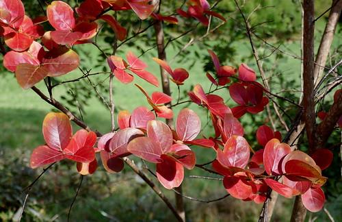 Au jardin, feuillage automnal du lilas d'été (Lagerstroemia indica), Bosdarros, Béarn, Pyrénées Atlantiques, Nouvelle-Aquitaine, France.