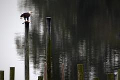 Hampton Bald Eagle