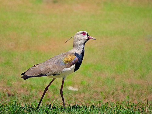 Southern Lapwing looking at the sky