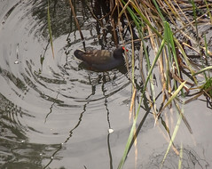 Coot in its Own Ripples