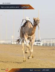 سباق الثنايا والحيل والزمول (إنتاج) والسودانيات بالمحلي الرابع 29-10-2020