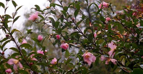 L'automne au jardin, camellia sasanqua, Bosdarros, Béarn, Pyrénées Atlantiques, Nouvelle-Aquitaine, France.