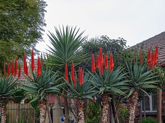 The Red Hot Poker Family