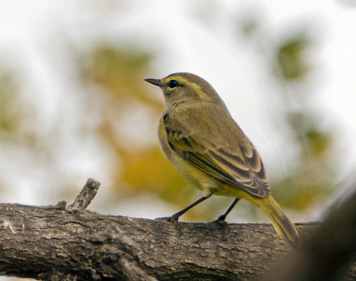 palm warbler, maybe?