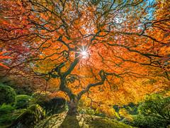 Japanese Maple Tree Mixed Autumn Colors: The Tao of the Portland Japanese Garden: Yellow Orange Green Red Leaves Fine Art Landscape Nature Photography! Fuji GFX 100 ! Elliot McGucken 45EPIC Master Medium Format Photographer Fujifilm GFX100! Fujinon Fujifi