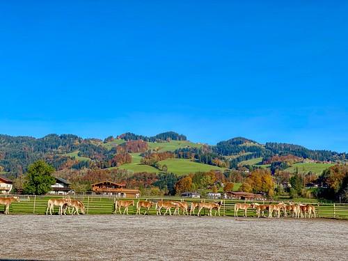 Haflinger horses in autumn in Ebbs in Tyrol, Austria