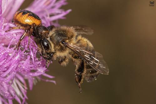 aranha e abelha, spyder(Synema globosum) and Honey bee