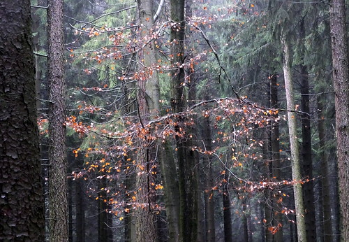rain...  beech tree finding a tunnel of light.... in the spruce forest...