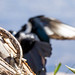magpies magpie stories