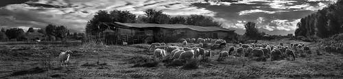 """""""Ο ηγέτης""""  """"The leader"""" ...τὰ πρόβατα τῆς νομῆς Mου   The lambs of My herbage  Panorama bw 5"""