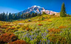Mount Rainier National Park Paradise Meadows Wildflowers Superbloom Lupine Fuji GFX100 Fine Art Landscape Photography! Washington State Fine Art Nature Photography! Elliot McGucken Master Medium Format Photographer Fuji GFX 100 & Fujinon Fujifilm GF Lens!