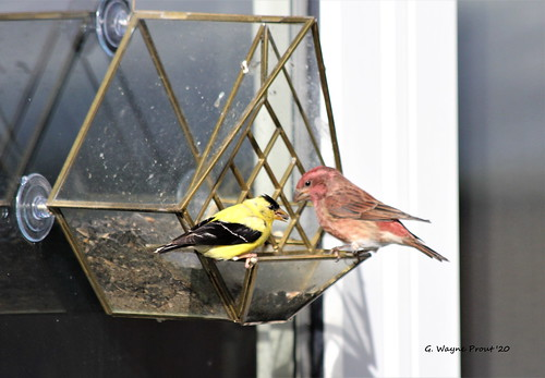 American Goldfinch (Carduelis tristis) and Purple Finch (Carpodacus purpureus)