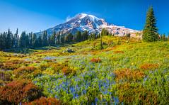 Mount Rainier National Park Paradise Meadows Wildflowers Superbloom Lupine Fuji GFX100 Fine Art Landscape Photography! Washington State Fine Art Nature Scenery Photoart! Elliot McGucken Medium Format Photographer Fuji GFX 100 & Fujinon Fujifilm GF Lens!