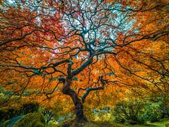 Japanese Maple Tree Mixed Autumn Colors: The Tao of the Portland Japanese Garden: Yellow Orange Green Red Leaves Fine Art Landscape Nature Photography! Fuji GFX 100 ! Elliot McGucken 45EPIC Fujifilm GFX100! Laowa 17mm f/4 Ultra-Wide GFX Zero-D