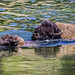 BEST of SHOW Mom Helping Calf Swim the Yellowstone River © Frank Zurey - 1st Place Published Images