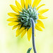 Ashy Sunflower © Dan Bernskoetter - 1st Place Flora