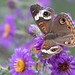 Buckeye butterfly © Dan Bernskoetter - 2nd Place Published Images