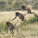 Leaping baboon © Dan Bernskoetter - 3rd Place Altered/Composite