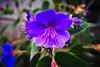 Photo:紫 By gullevek