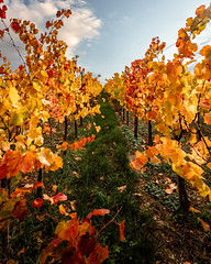 Vignes d'Eguisheim