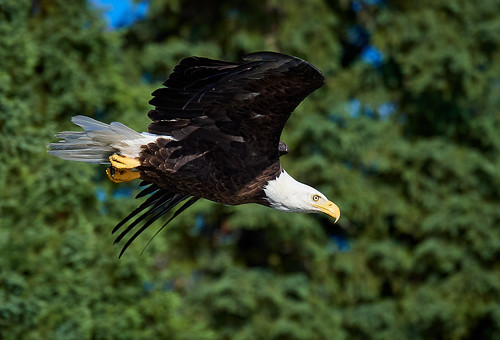 Bald Eagle diving in front of spruce trees