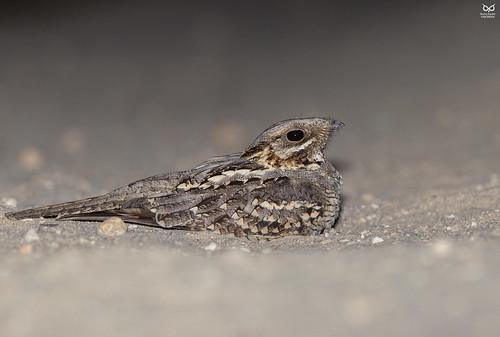 Noitibo-de-nuca-vermelha, Red-necked Nightjar (Caprimulgus ruficollis)