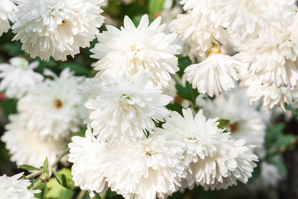 White autumn chrysanthemum flowers background