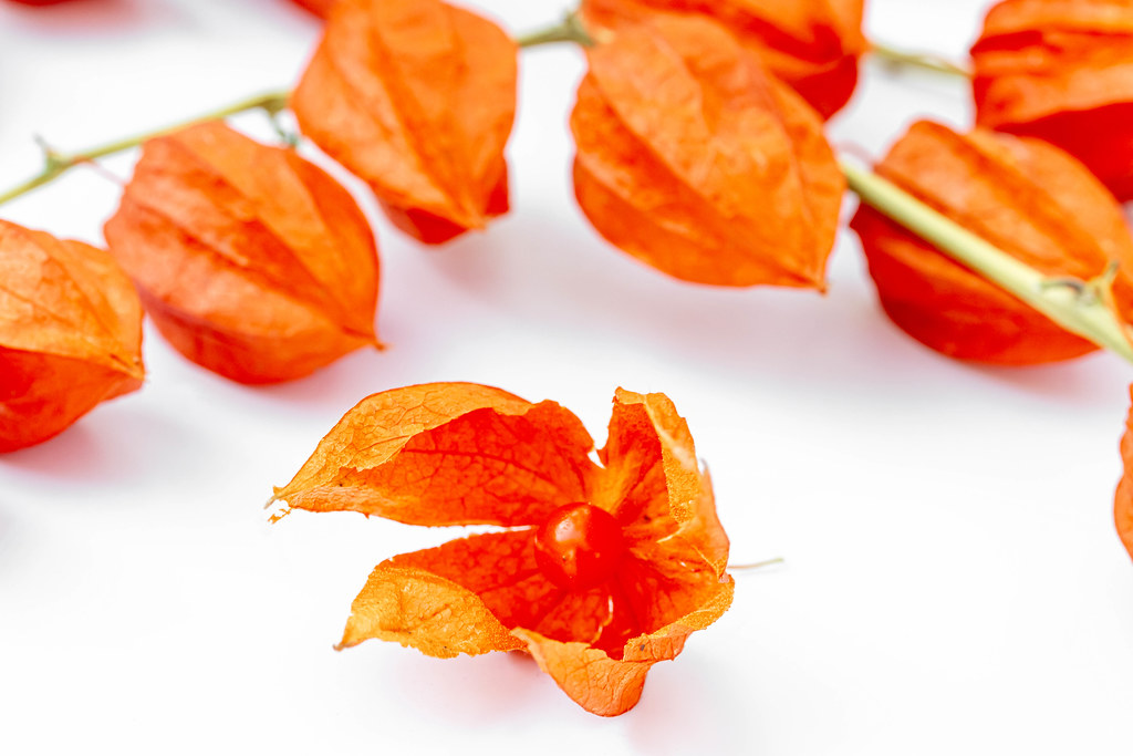 Close up, open winter cherry or physalis