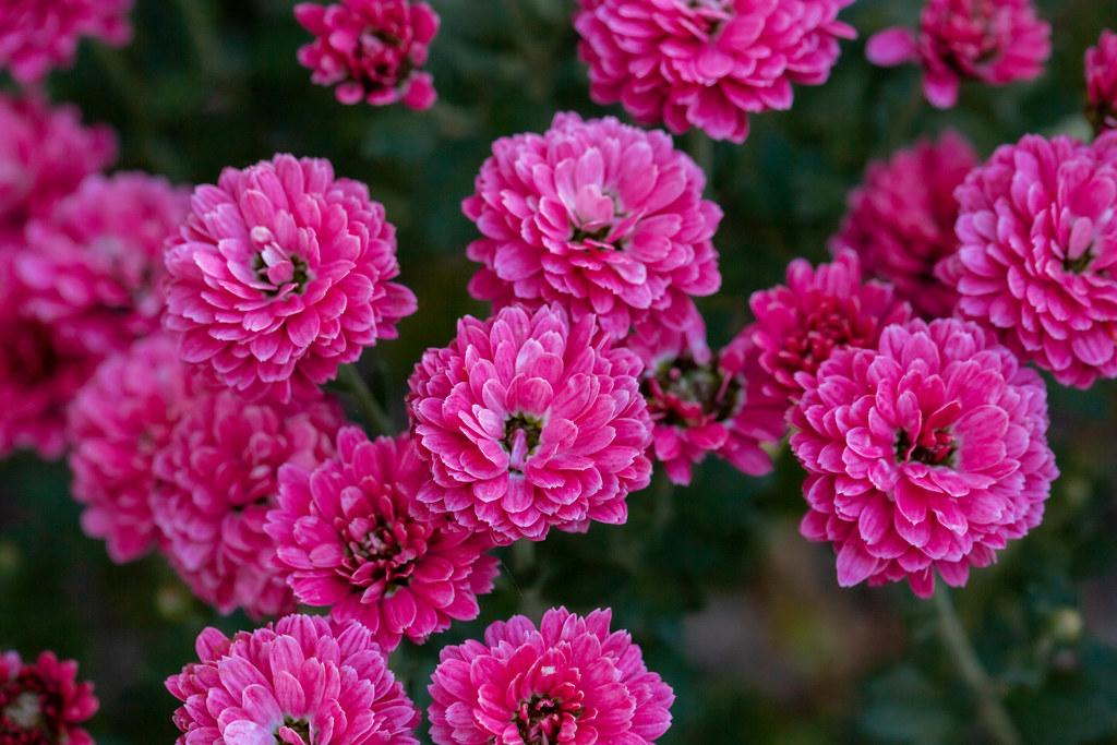 Bright pink chrysanthemum flowers outdoors
