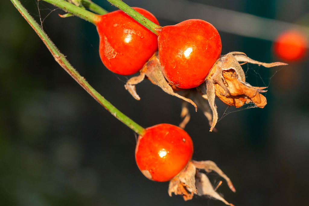 Rose seeds on branches, close-up