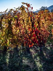 Vallée du Rhône,  les vignes en automne-14