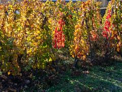 Vallée du Rhône,  les vignes en automne-15