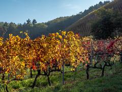 Vallée du Rhône,  les vignes en automne-9