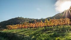 Vallée du Rhône,  les vignes en automne-7