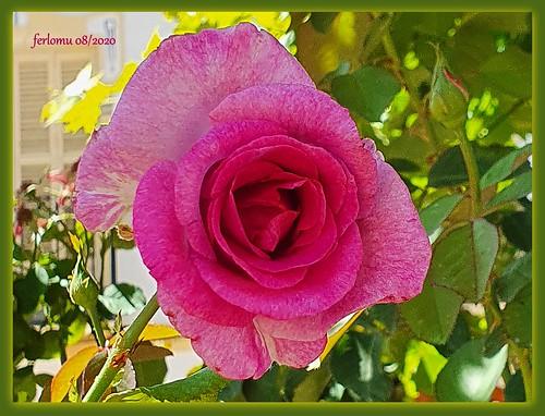 Palencia. Dueñas 20200805 46 rosa