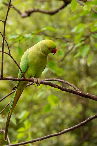 Parakeet in St. James's Park -London