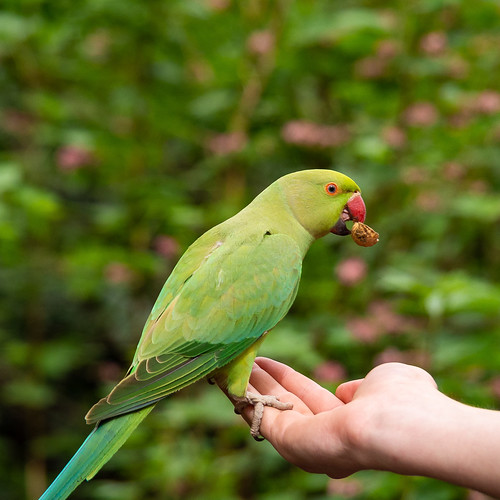 Eating out of your hand - St James's Park