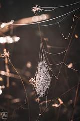 fils d'araignée